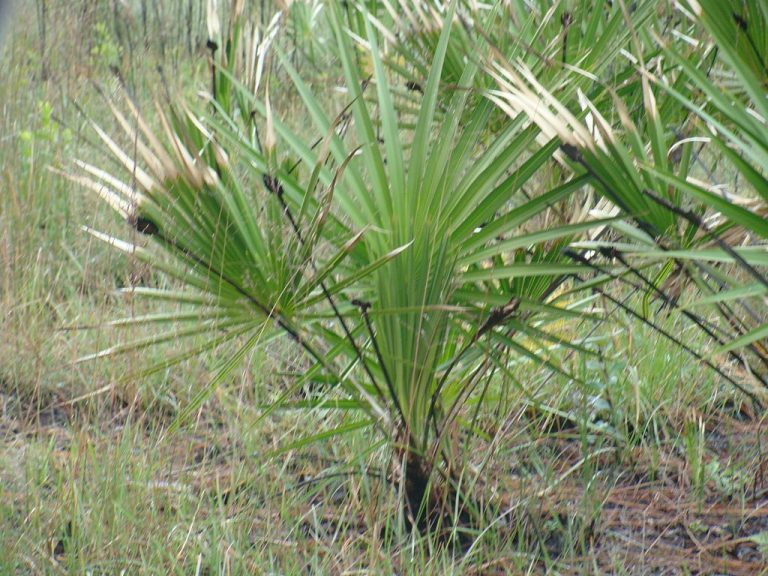 7 properties of Saw Palmetto