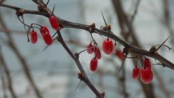 Berberine relieves symptoms of acne vulgaris