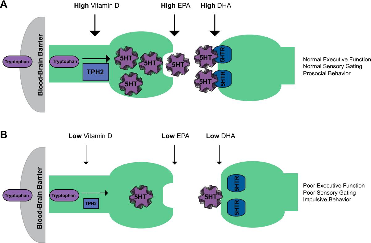 Mechanism of Vitamin D and Omega-3 fatty acids operations on serotonin level. Source: https://www.semanticscholar.org/paper/Vitamin-D-and-the-omega-3-fatty-acids-control-and-Patrick-Ames/b4aef4cf5865d279e58b39430e7069e251f27577
