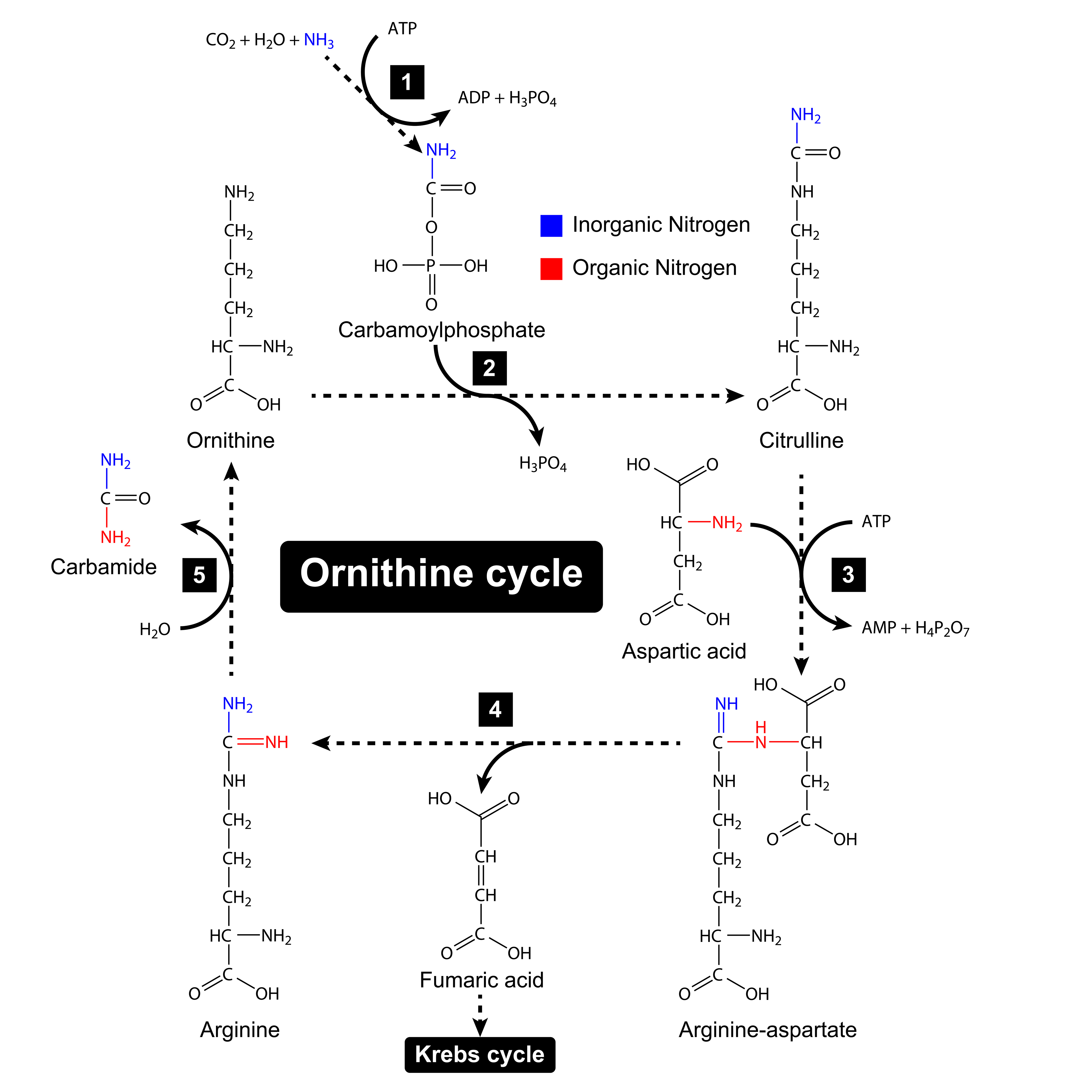 Arginine and citrulline are crucial amino acids in ornithine cycle - an important part of nitrogen balance in your organism