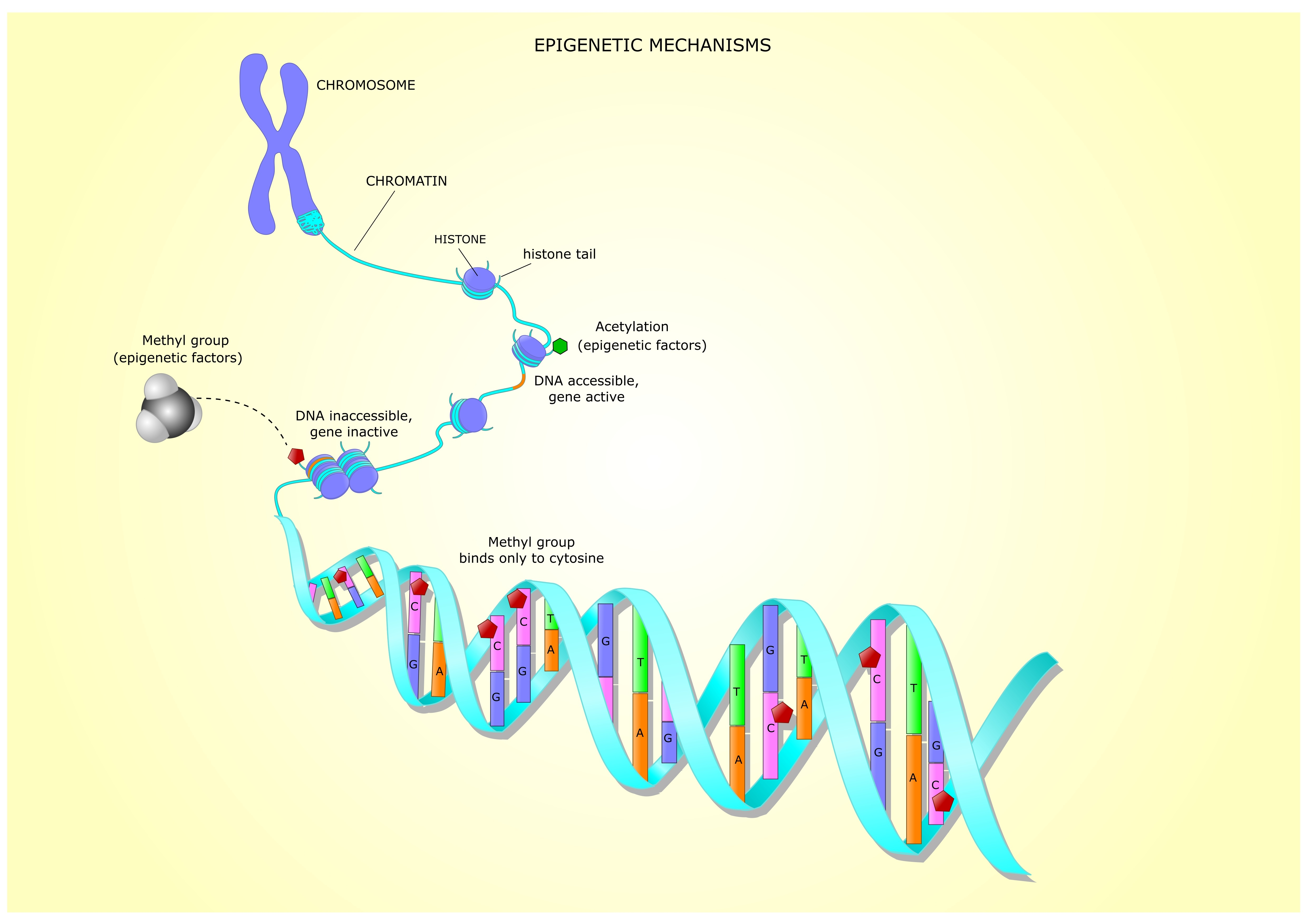 A methylation process is crucial in proper DNA expression