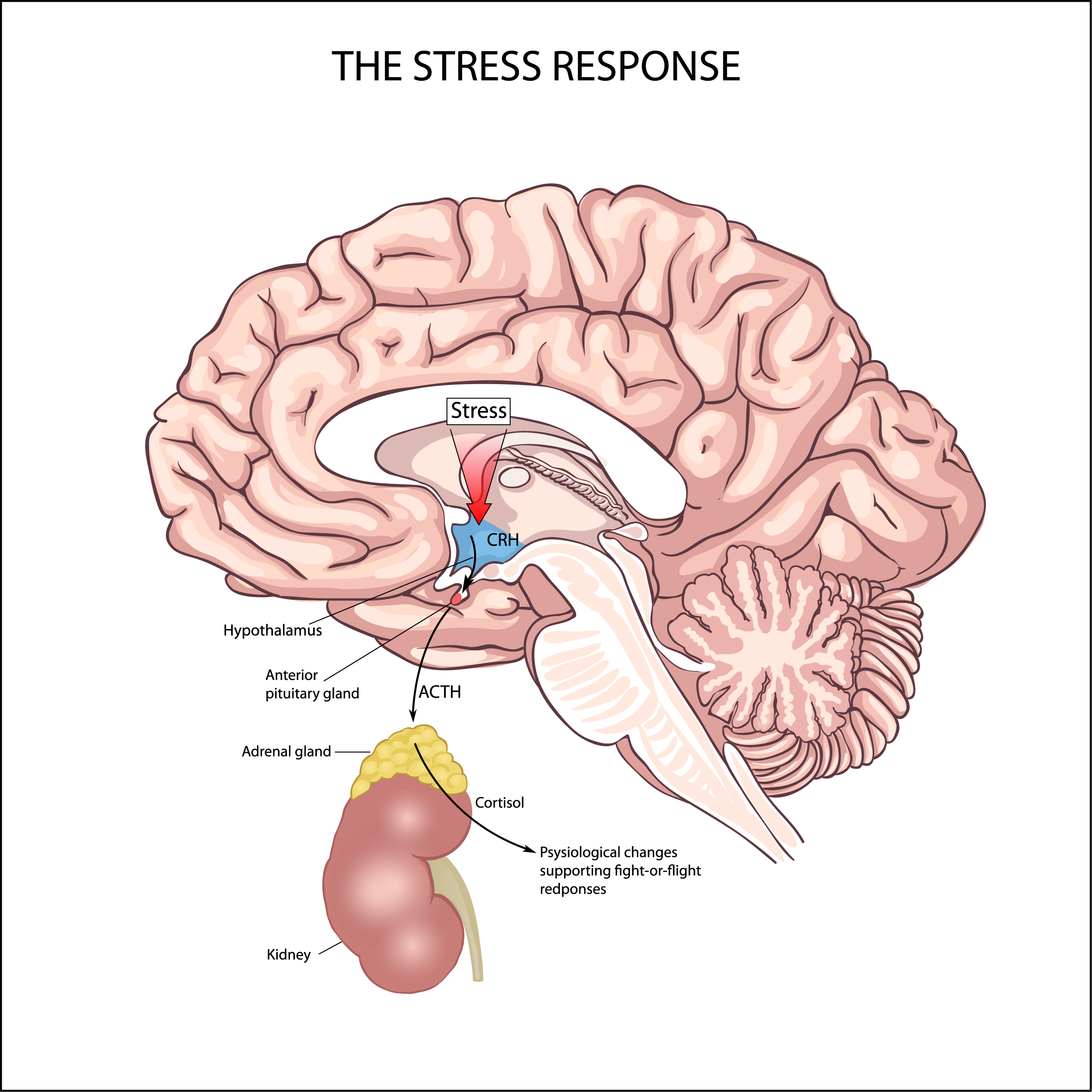How the stress response is related to cortisol level - infographic