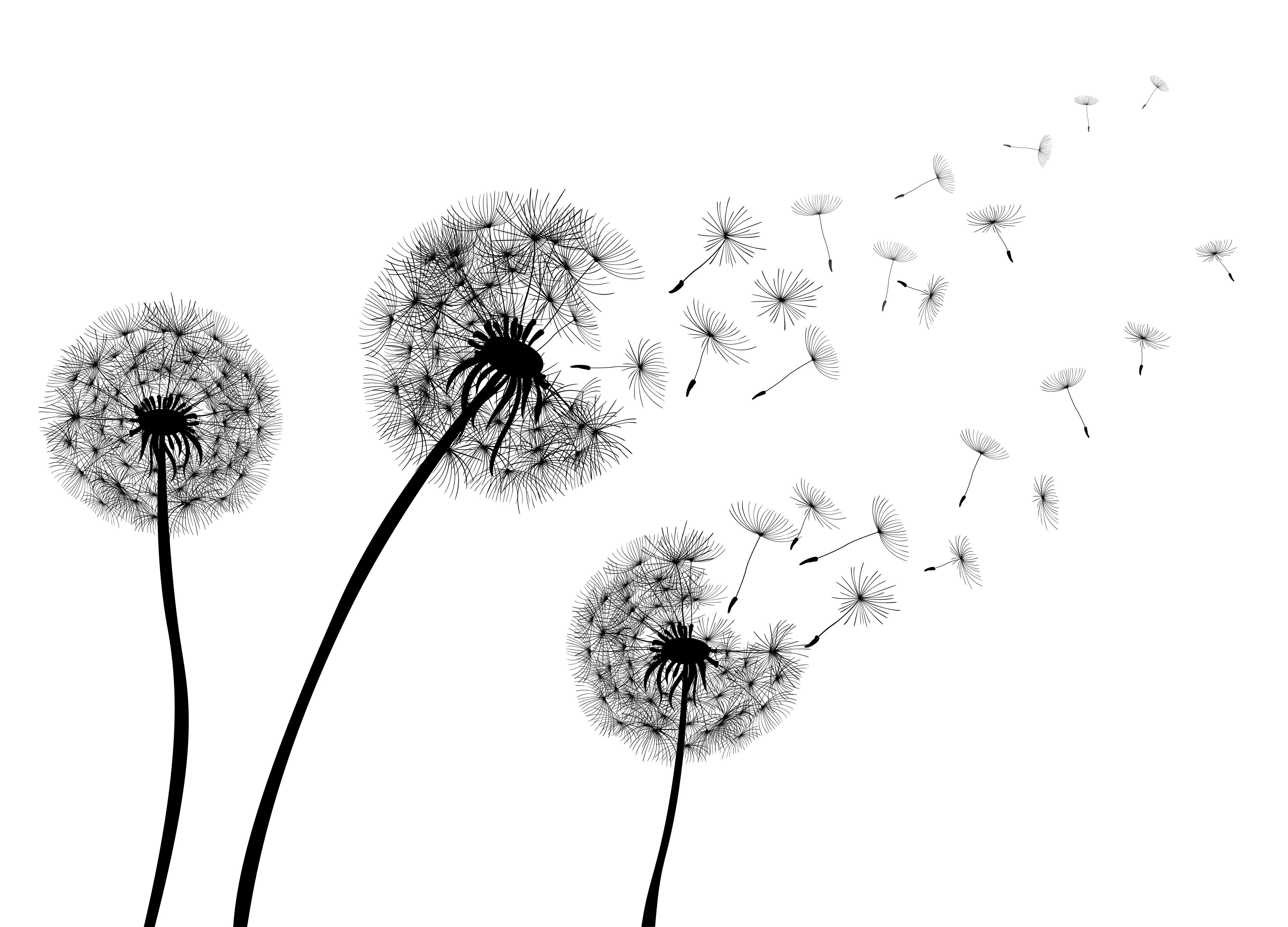 Dandelion - not only for making up your wishes, but also for getting rid of excessive water from your organism!