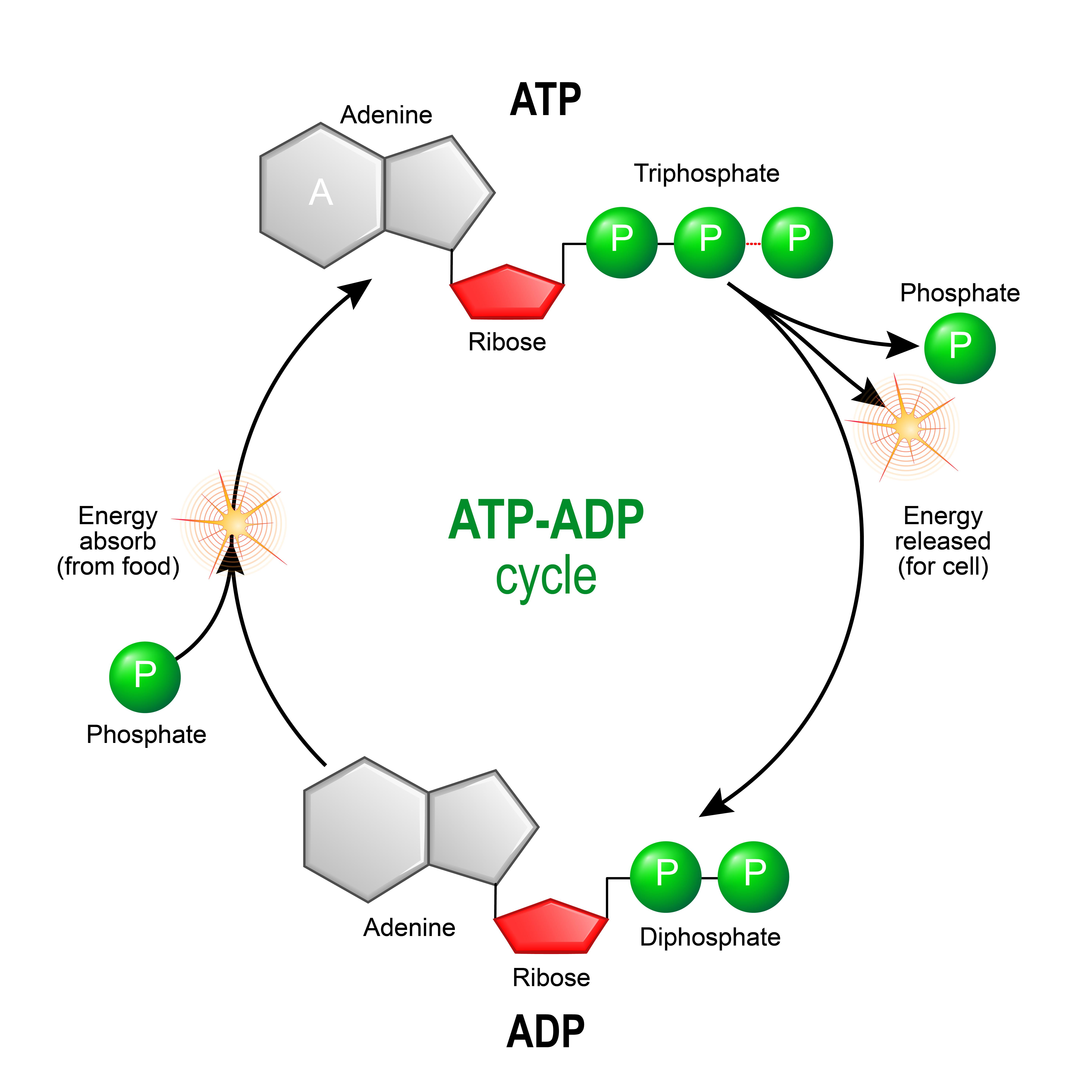 Metabolizm ATP