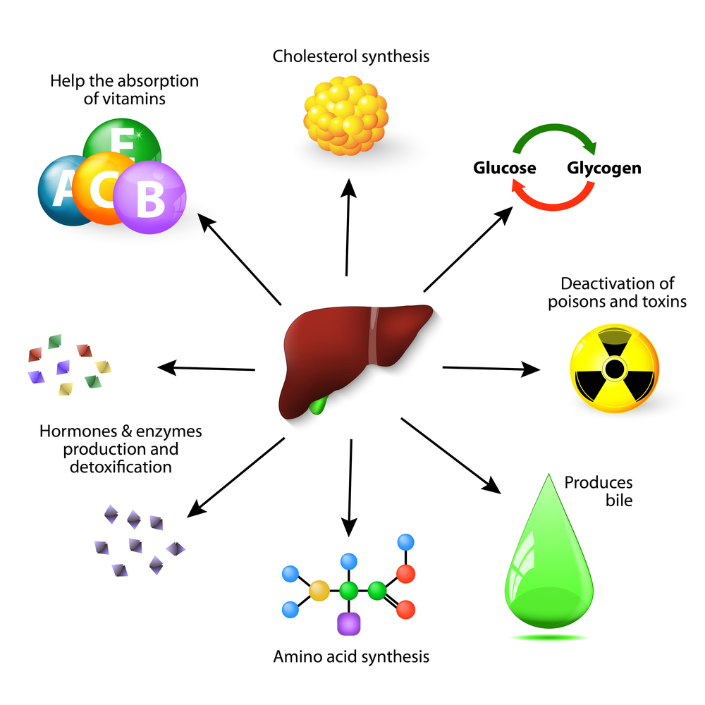 Liver functions and actions - infographic