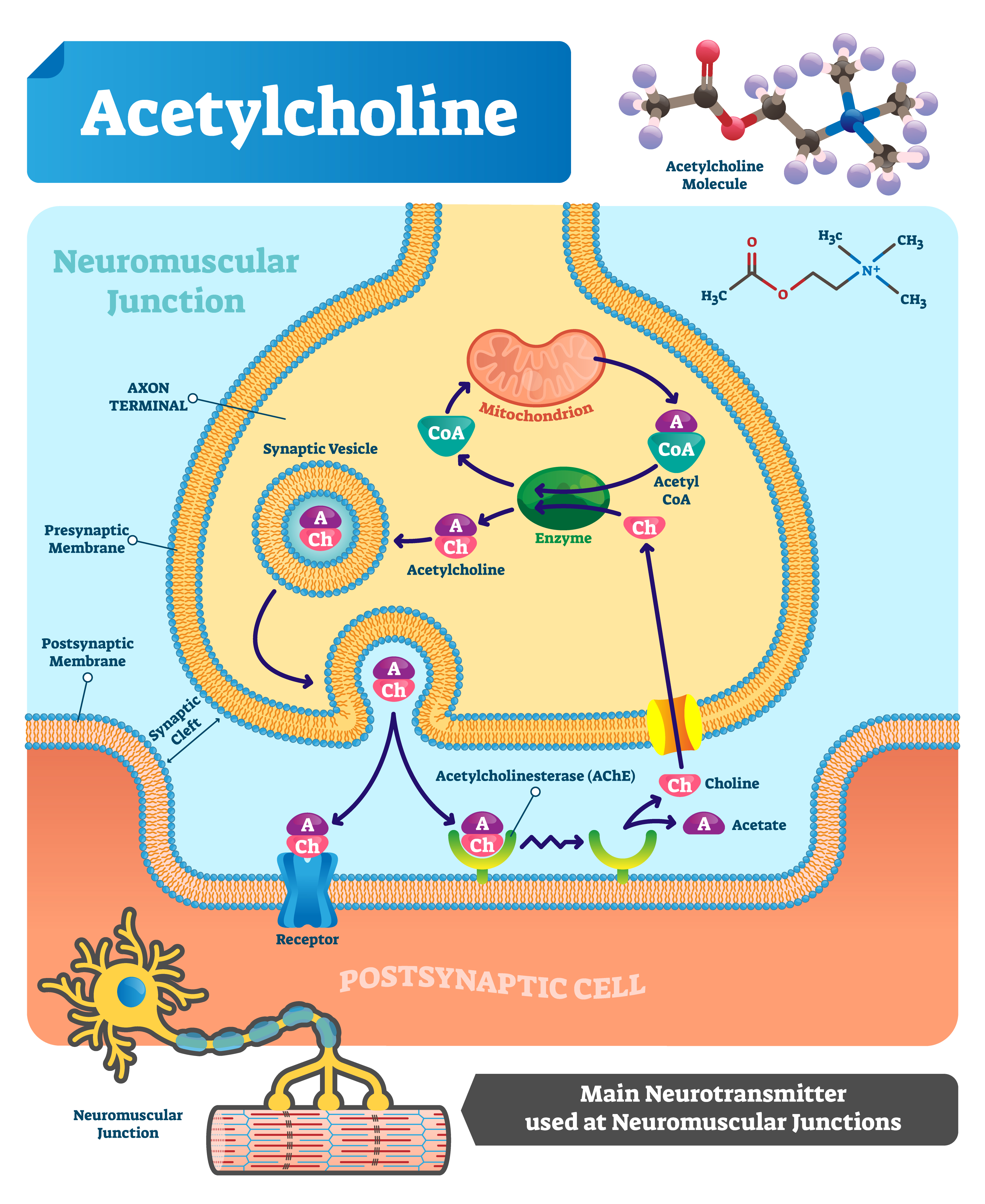 Choline is the basic substance in acetylcholine metabolism. How does acetylcholine work?