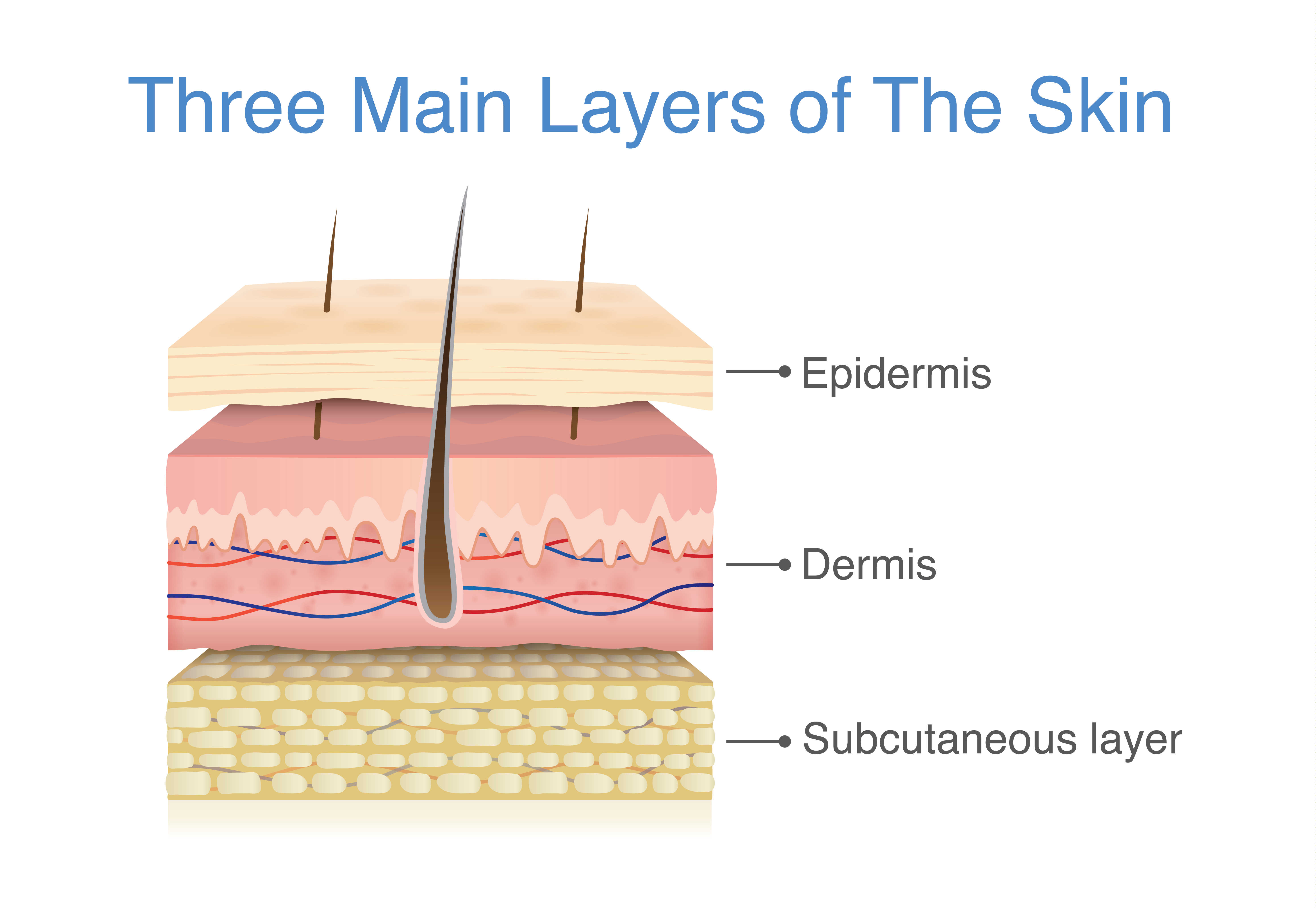How human skin is structured
