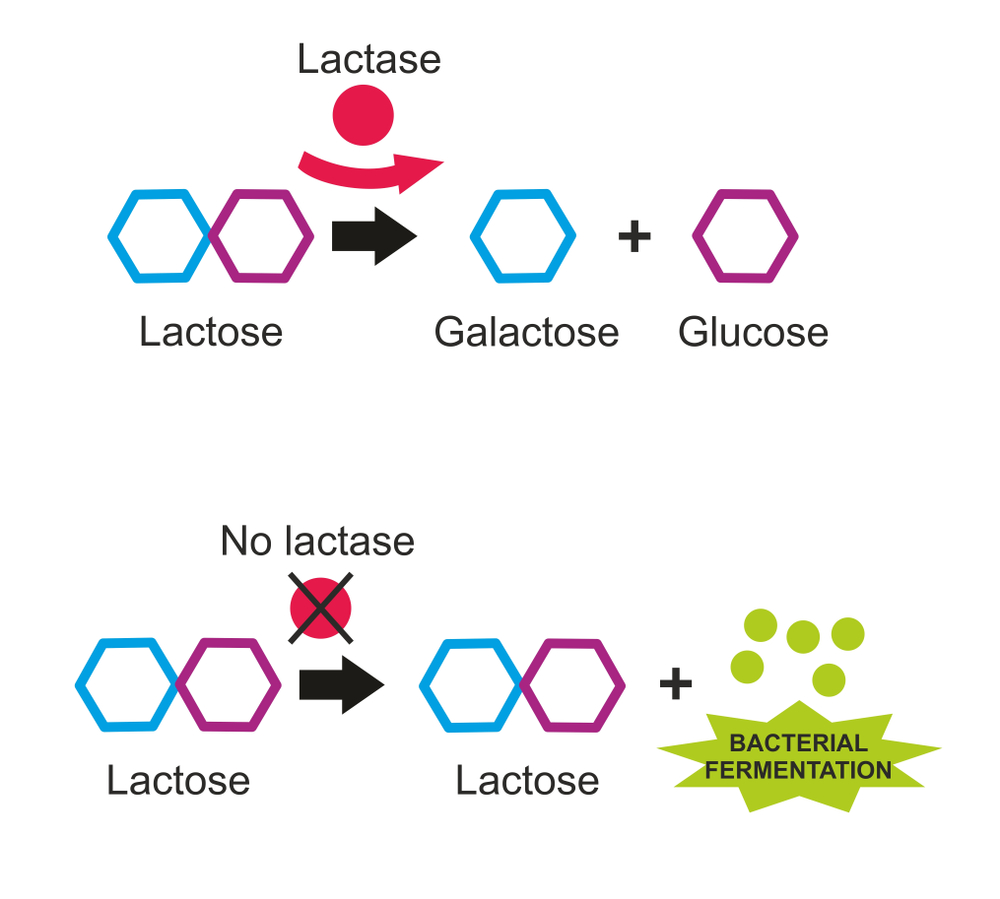 How do digestive enzymes work?