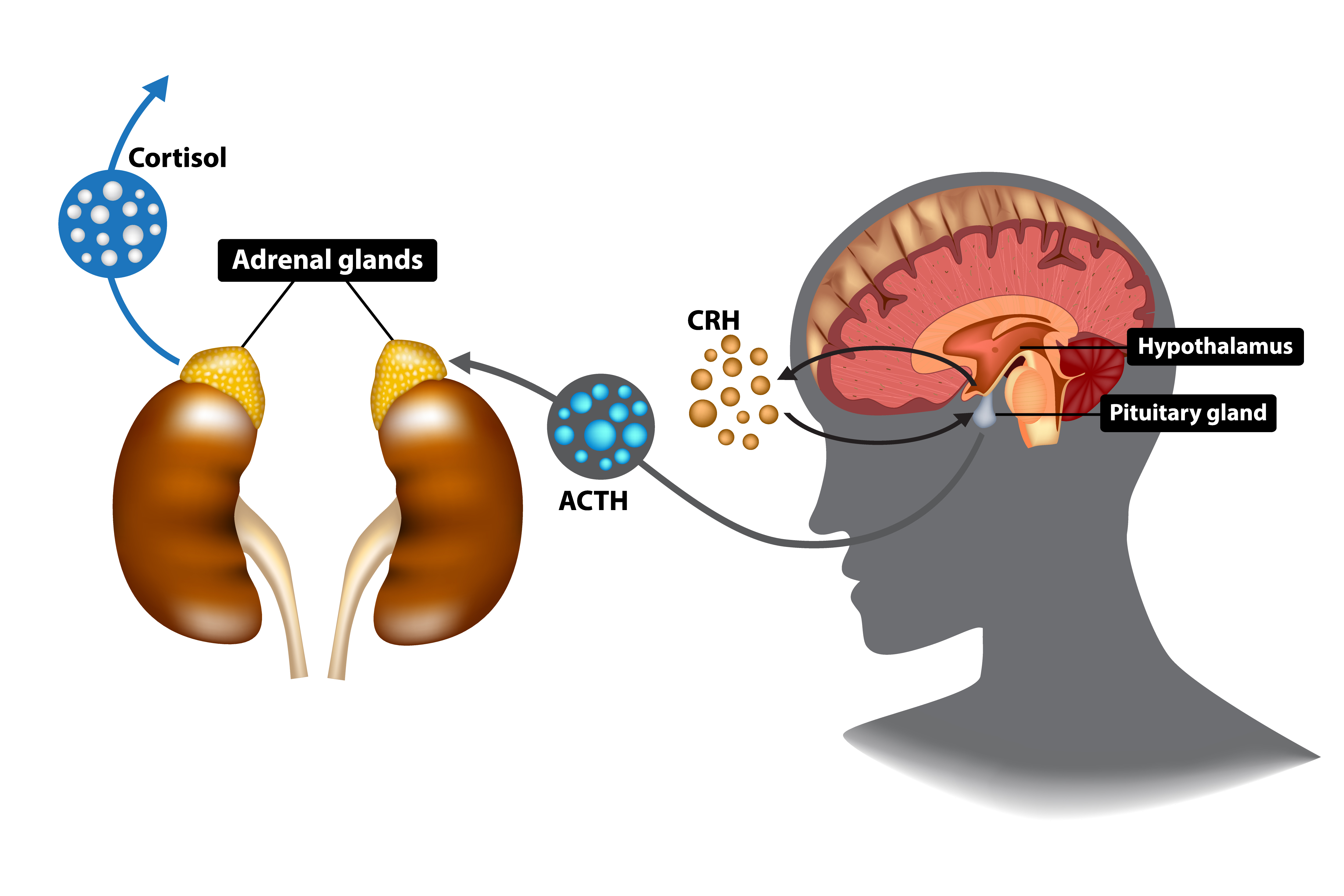 How cortisol is secreted