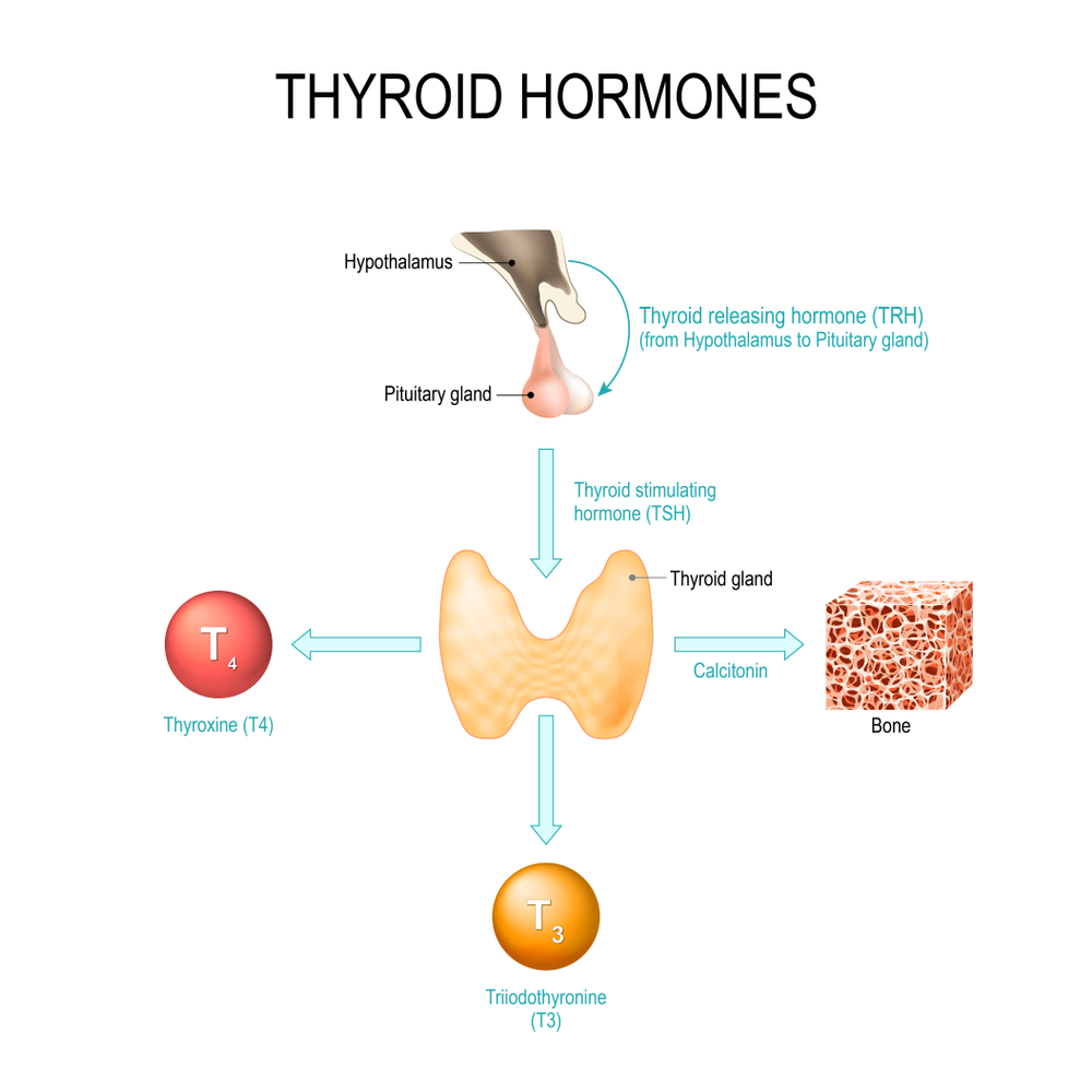 Most important actions of iodine resolves over thyroid metabolism