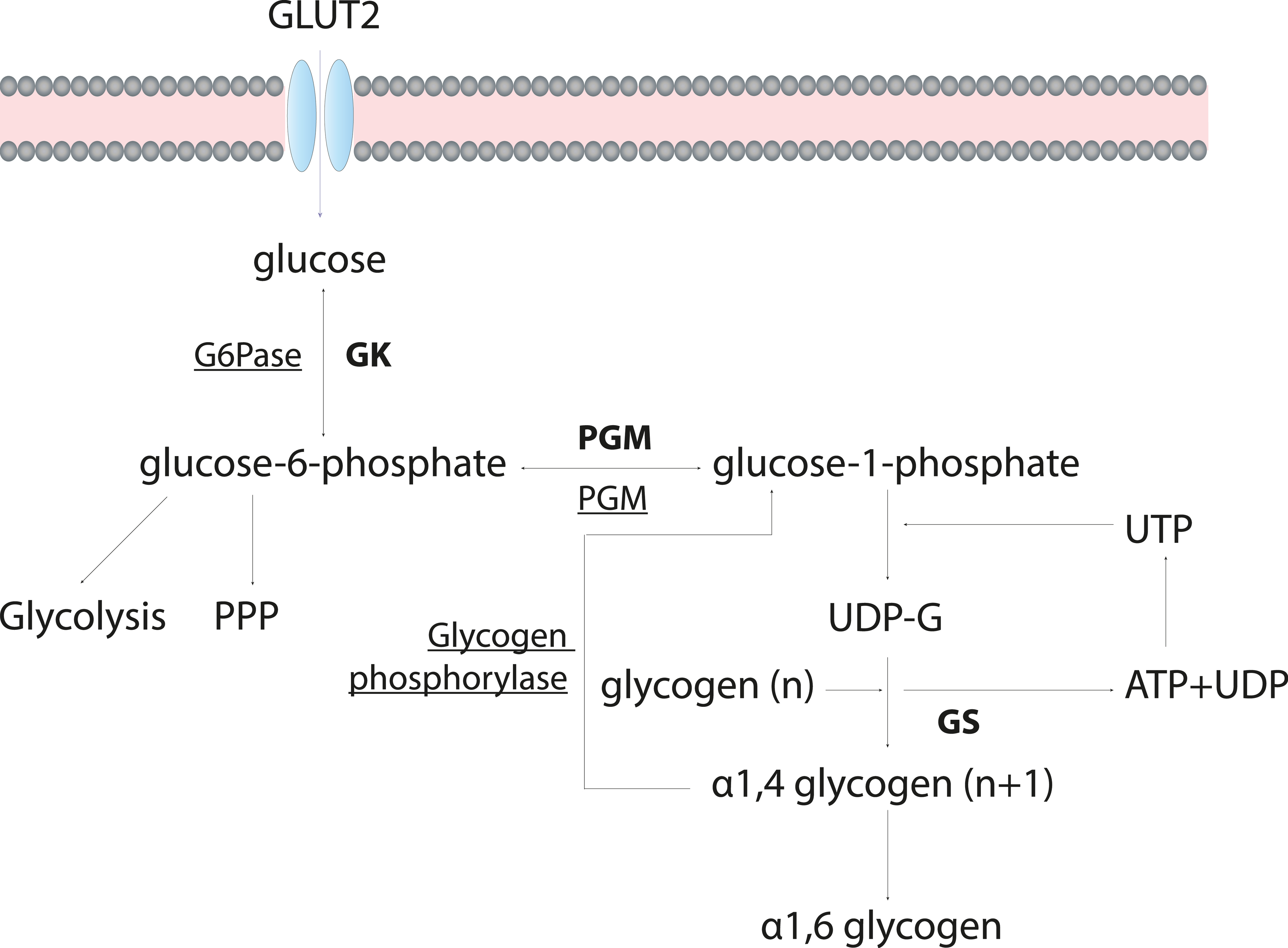 How does glycogen work during the workout