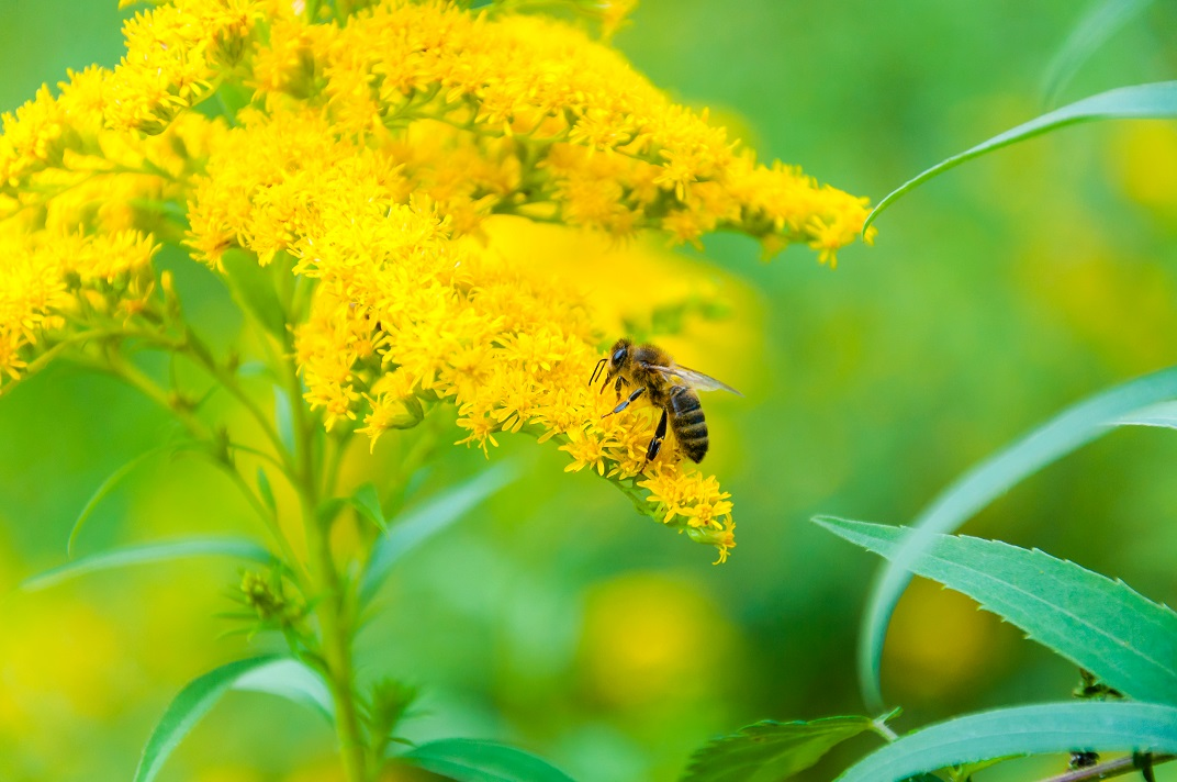 Bee in the time of acquring goldenrod honey