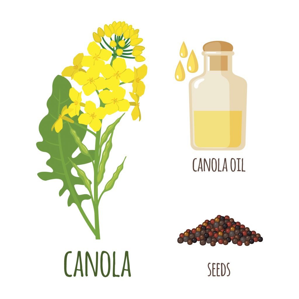 Canola oil (or rapeseed oil) and canola seeds