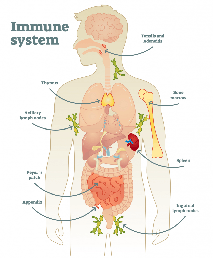 Which organs take part in immune response?