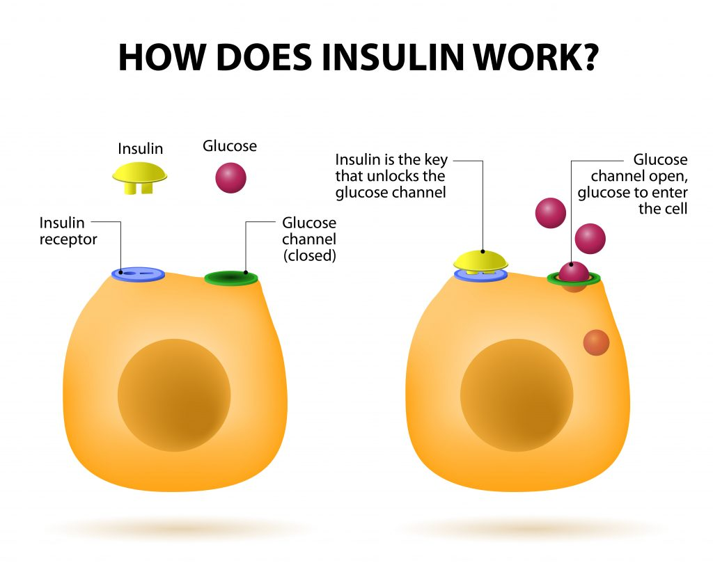 How does insulin work?