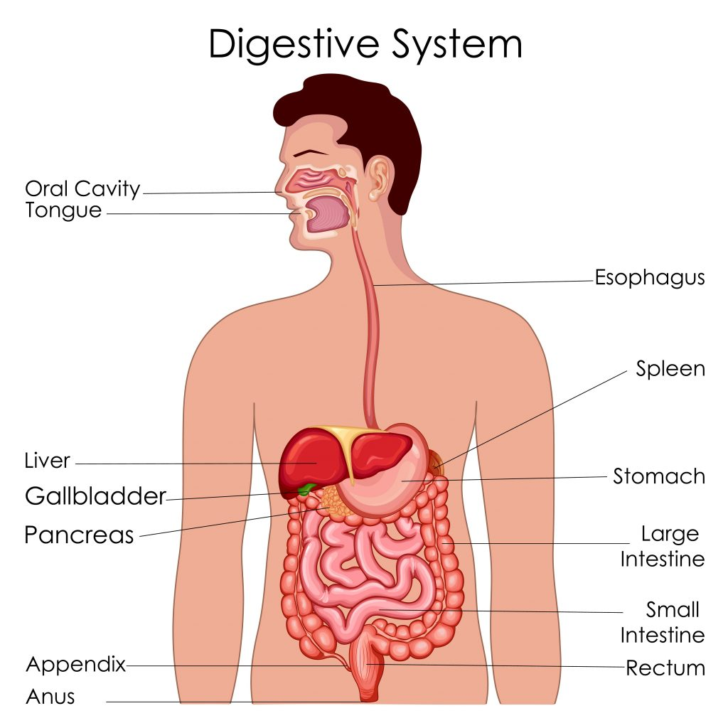 Parts of digestive system