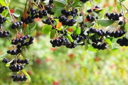 Aronia – properties and application