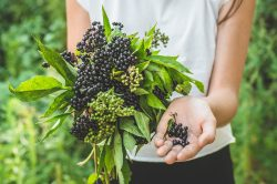 Elderberry immunity, flu and cold