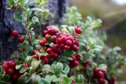 Lingonberry in the phytotherapy of the urinary system