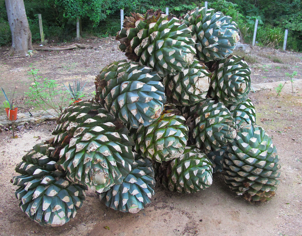 How does agave fruits look like