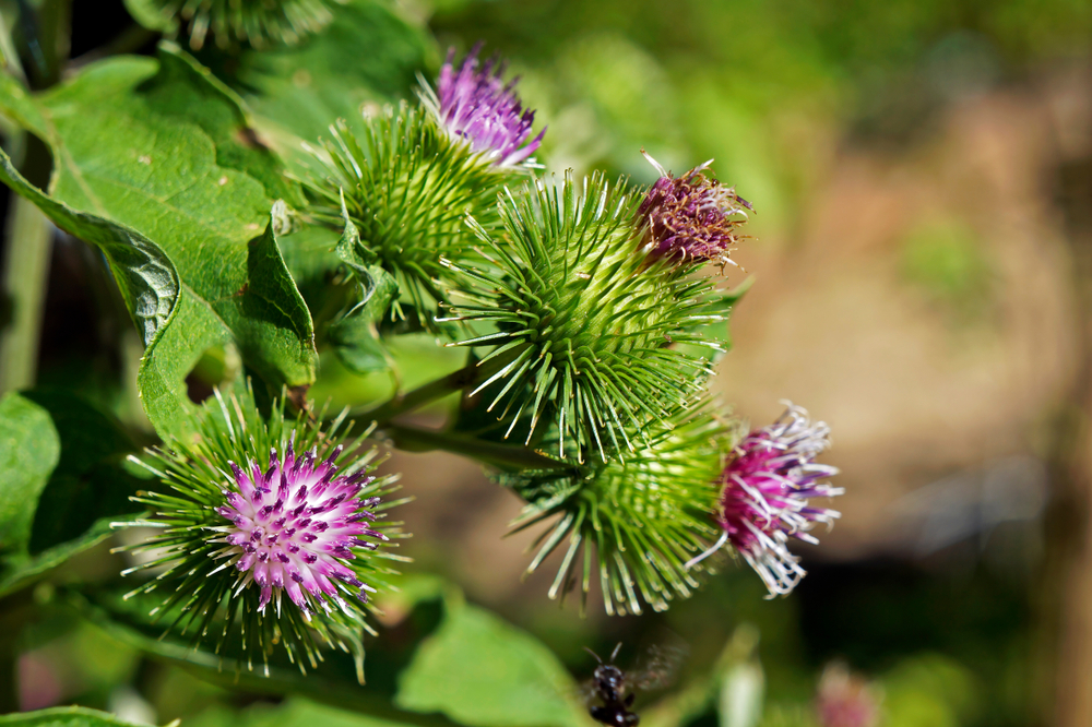 Greater Burdock plant and flowers