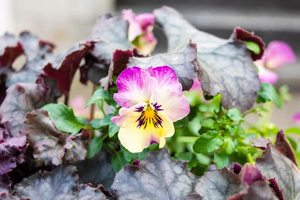 Tricolour violet flowers