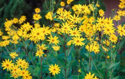 What properties does Jerusalem artichoke (tuberous sunflower) have?
