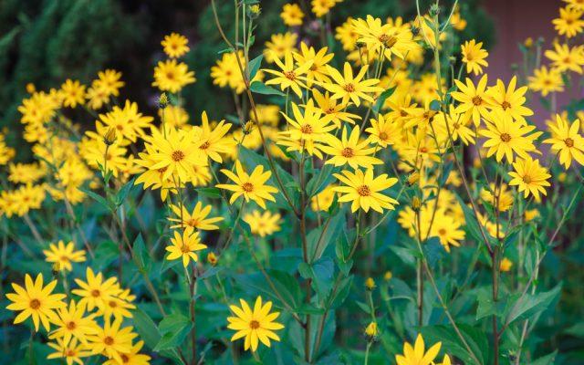 What properties does Jerusalem artichoke (tuberous sunflower) have?