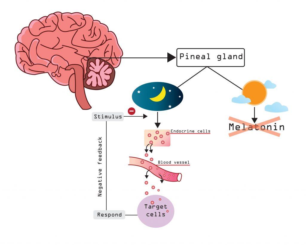 Melatonin - mechanism of action